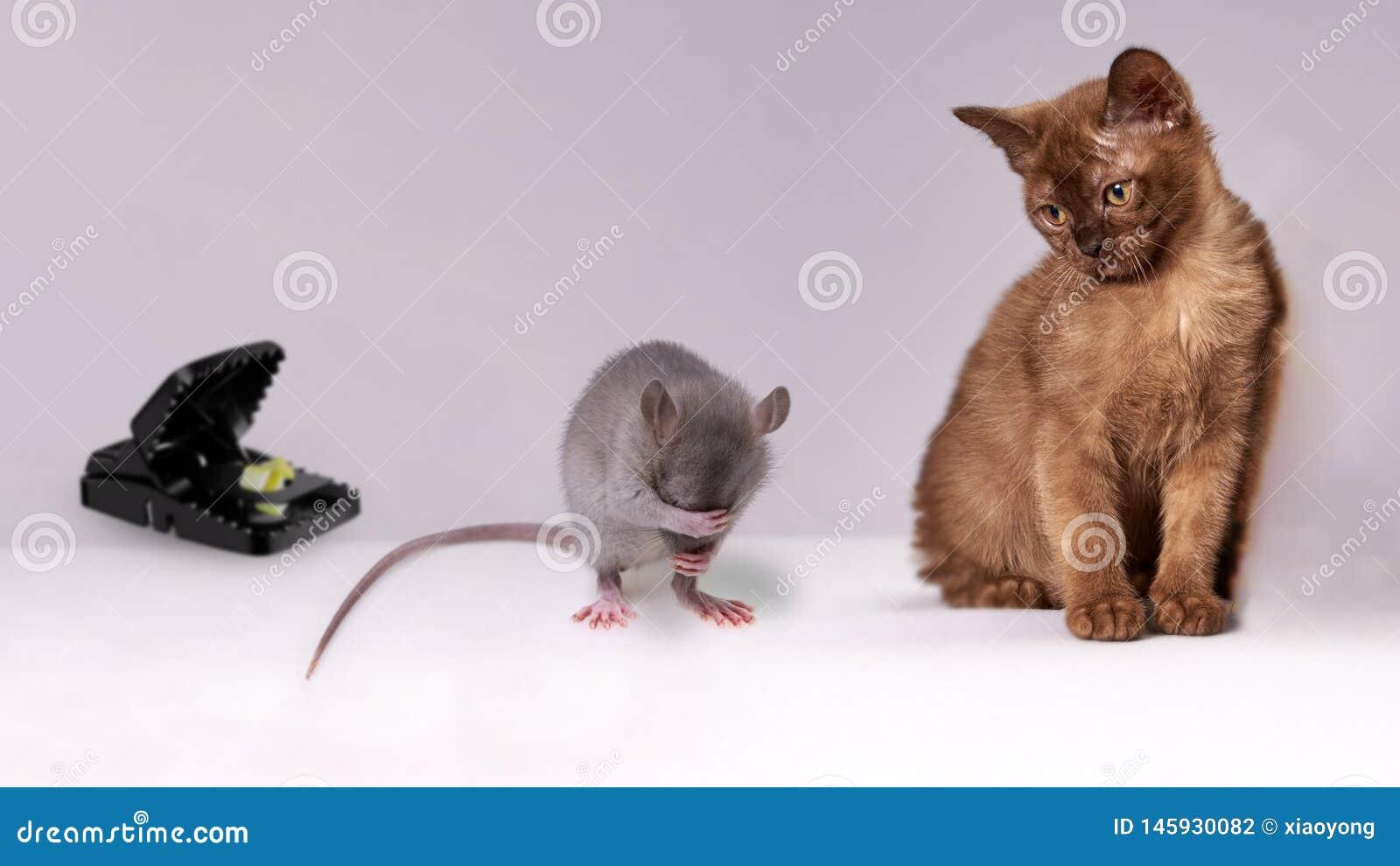 Rat entre le chat et la souricière à clapet