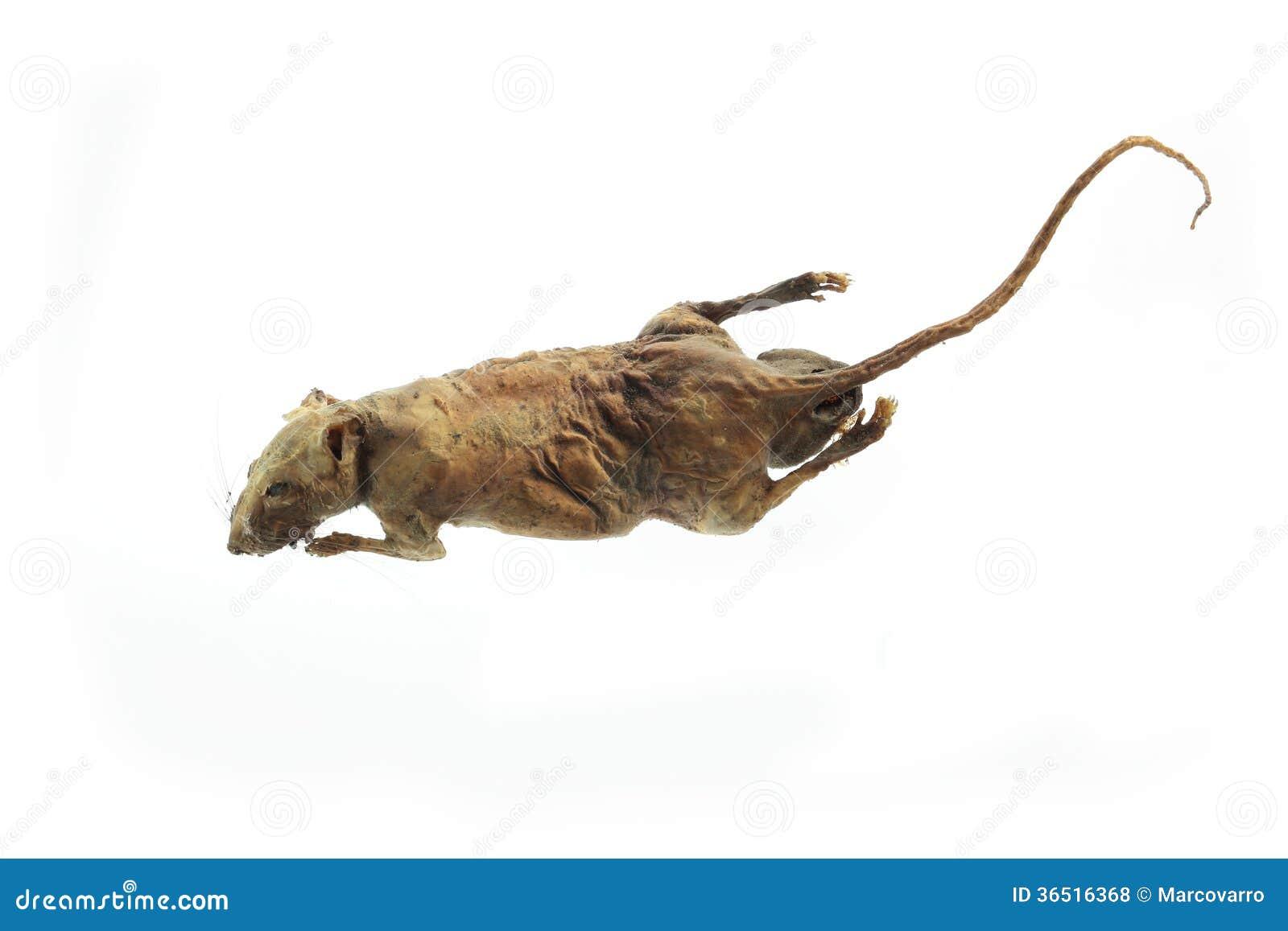Rat momifié