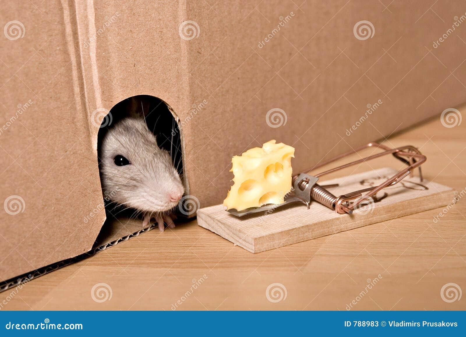 Rat, muizeval en kaas