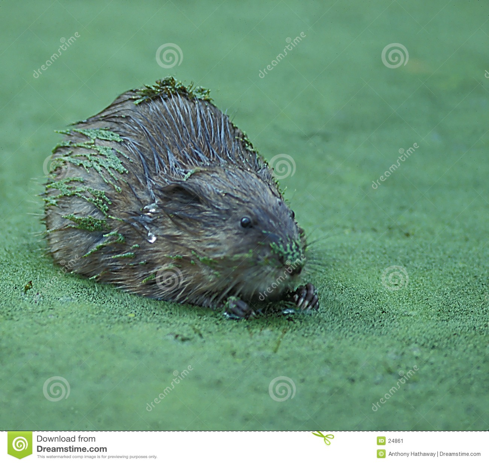 Rat musqué en lenticule
