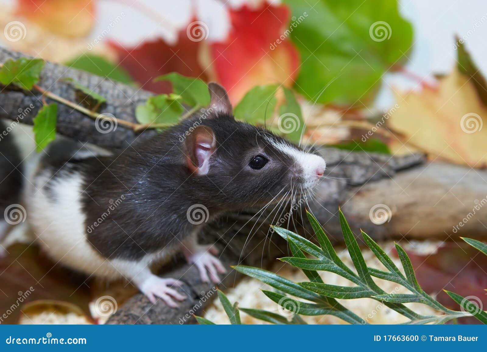 Rat noir et blanc se cachant dans le feuillage