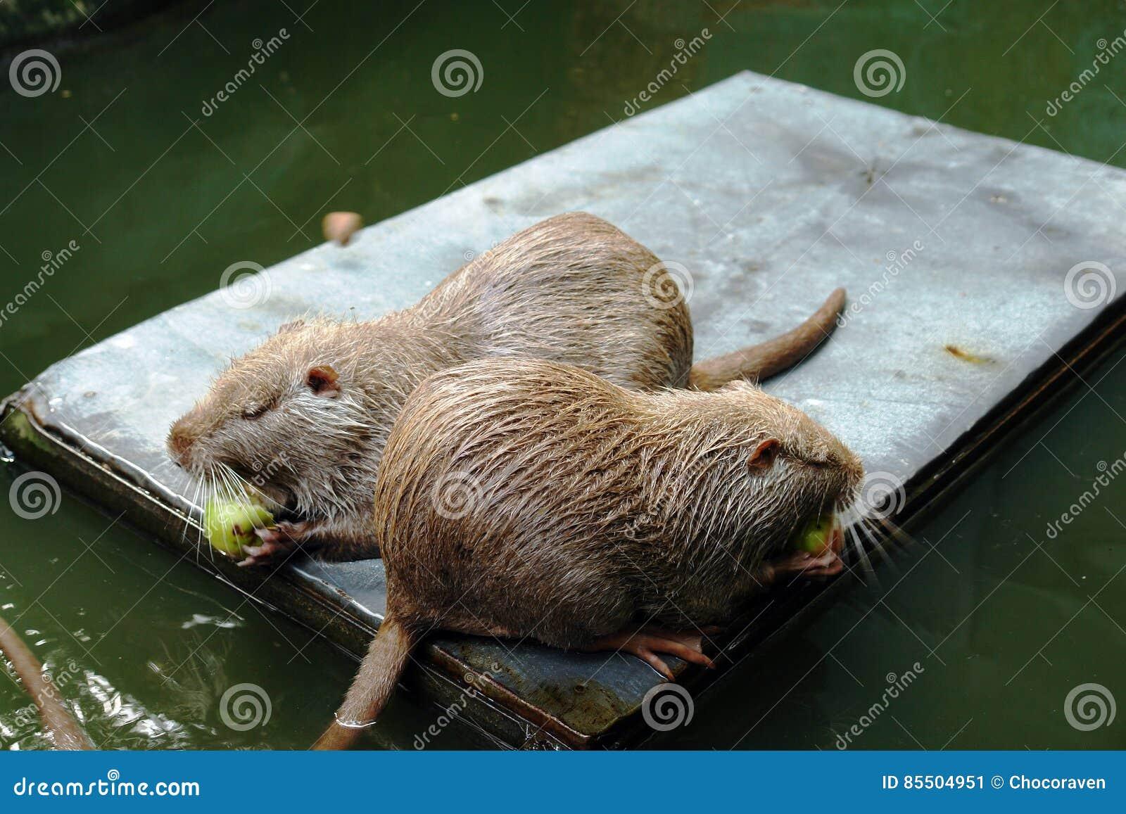 Rat nutria