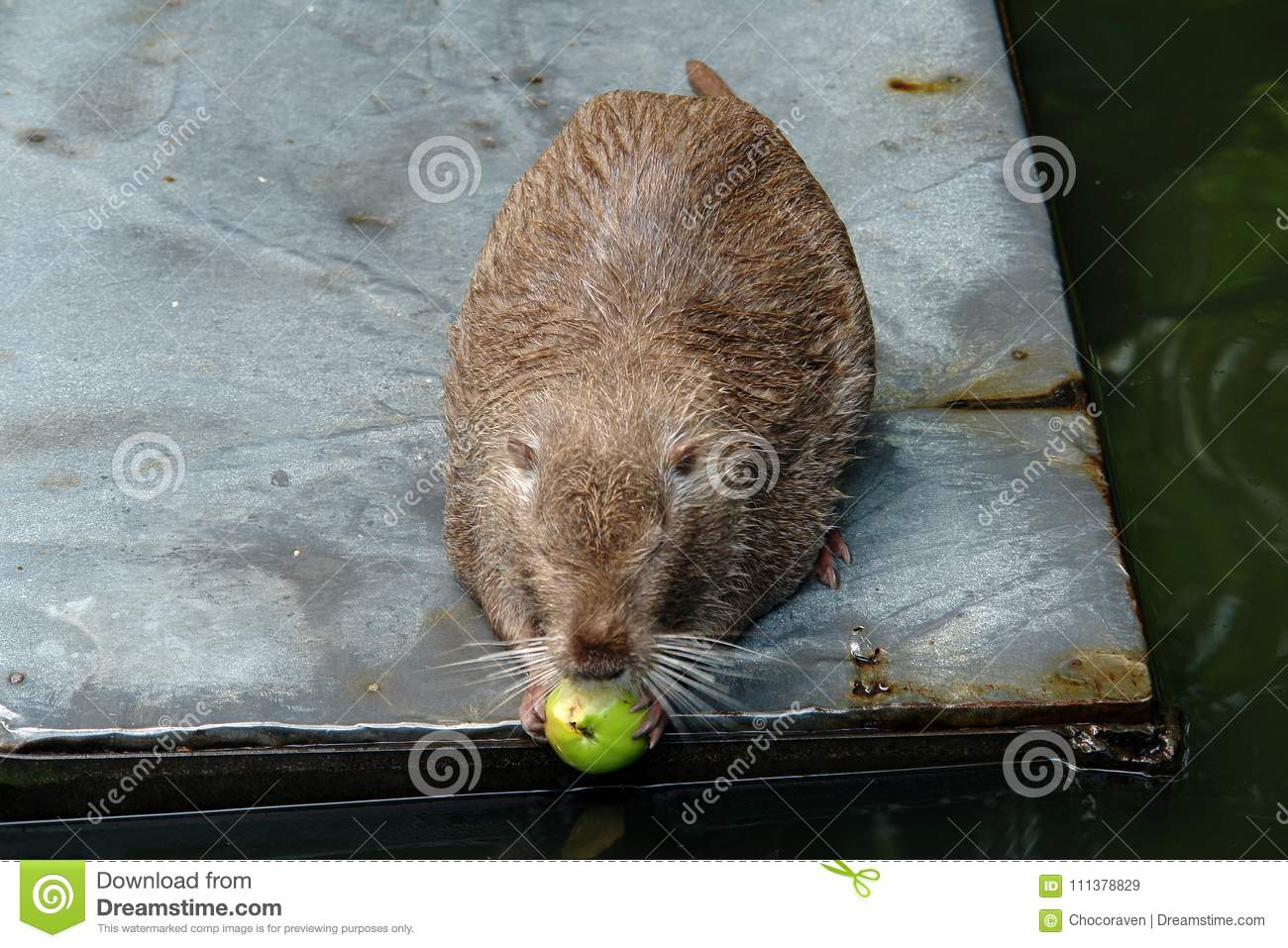 Rat nutria chewing on an Apple.