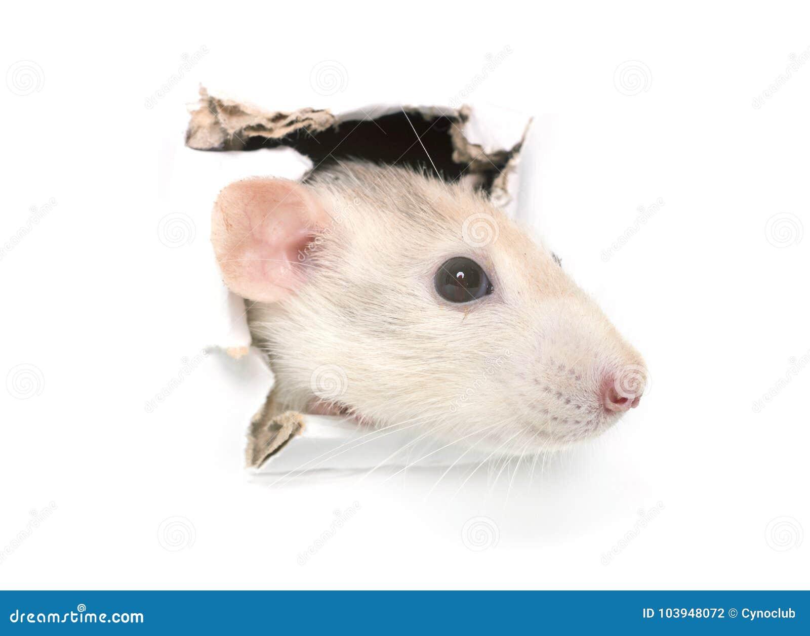 Rat in hole