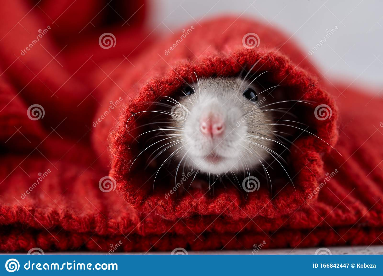 Rat In Red Christmas Winter Sweater Stock Image Image of