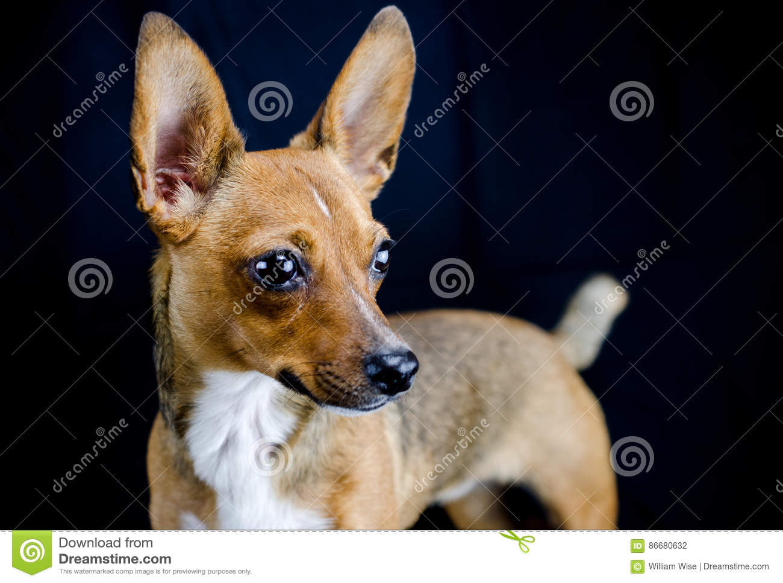 Erfreut Draht Foxterrier Chihuahua Mix Bilder - Der Schaltplan ...