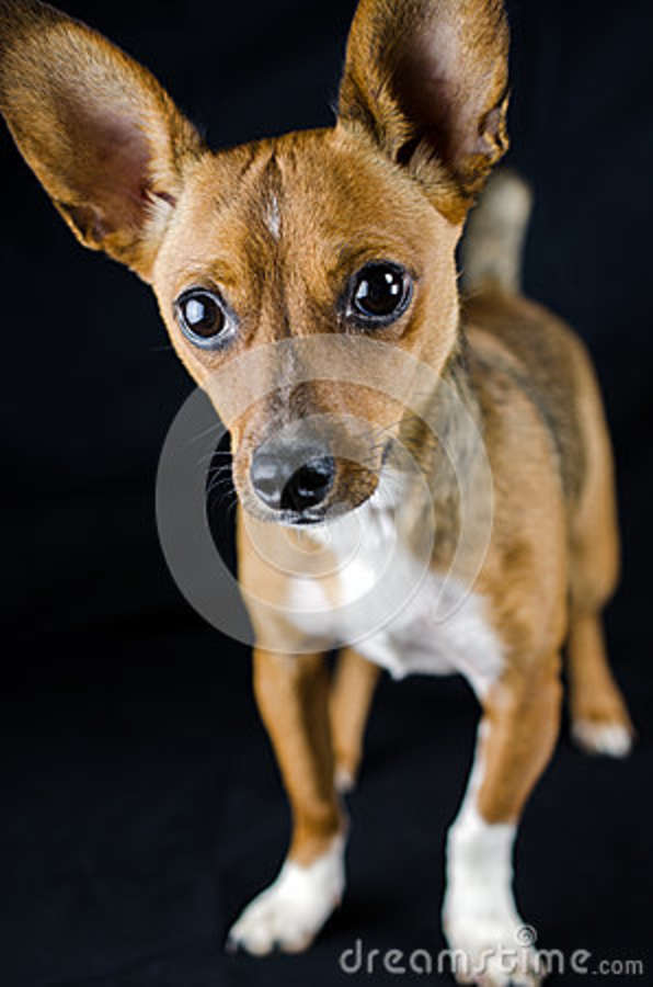 Rat Terrier Chihuahua Mixed Breed Dog Stock Image Image Of Shelter