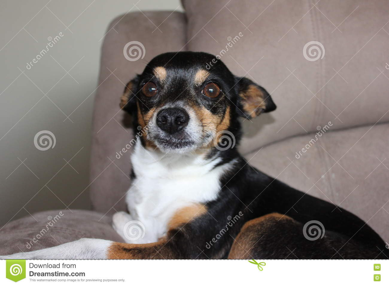 Rat Terrier Mixed Mongrel Dog Stock Photo Image Of Lazing Mutt
