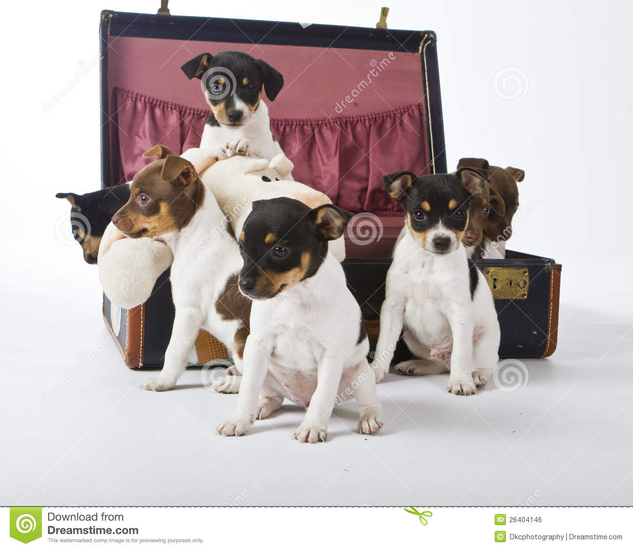 Rat Terrier Puppies Stock Photo Image Of Little Looking 26404146