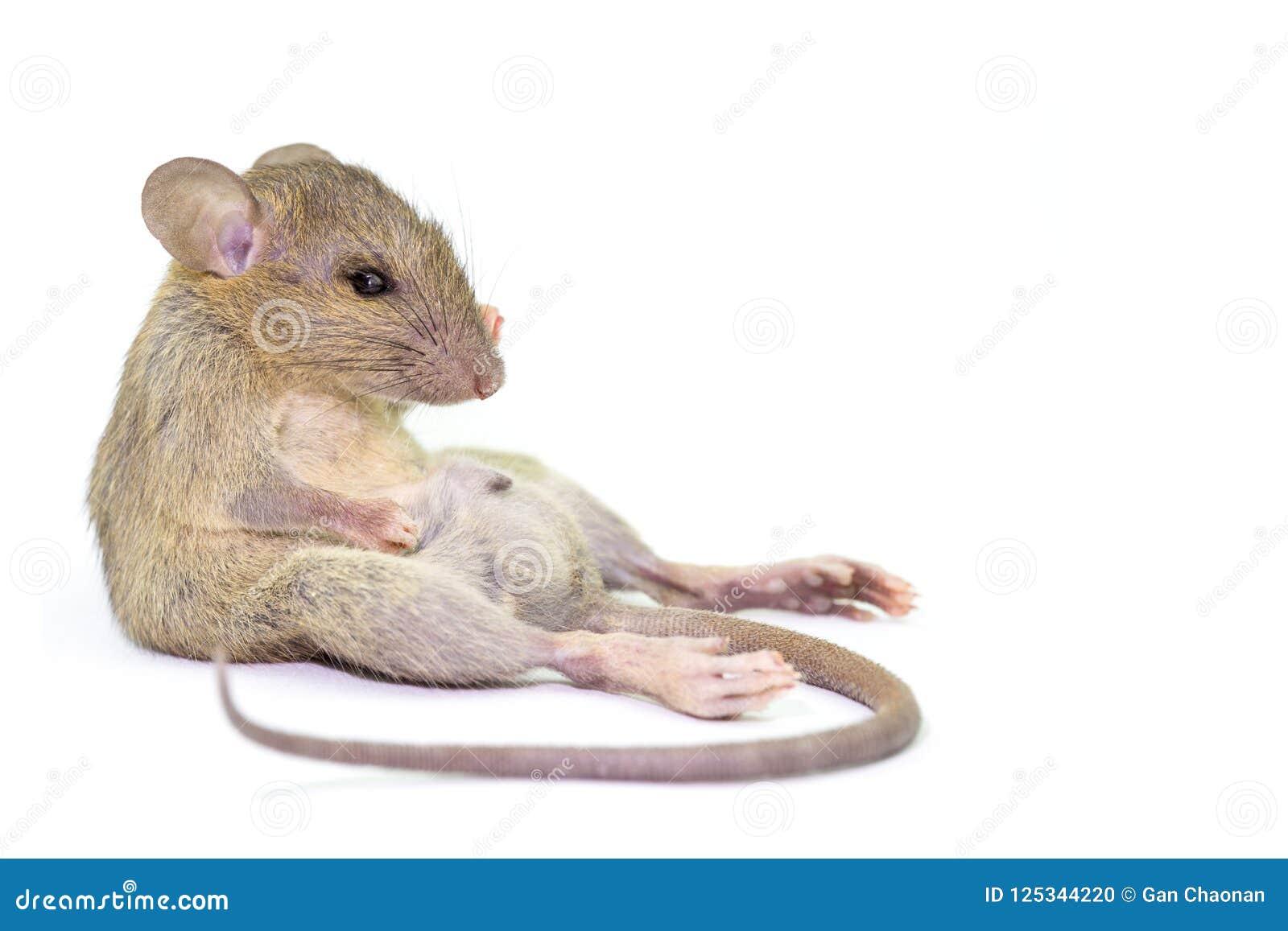 Rata animal del ratón que come el scrapsbin de la comida aislado en el fondo blanco