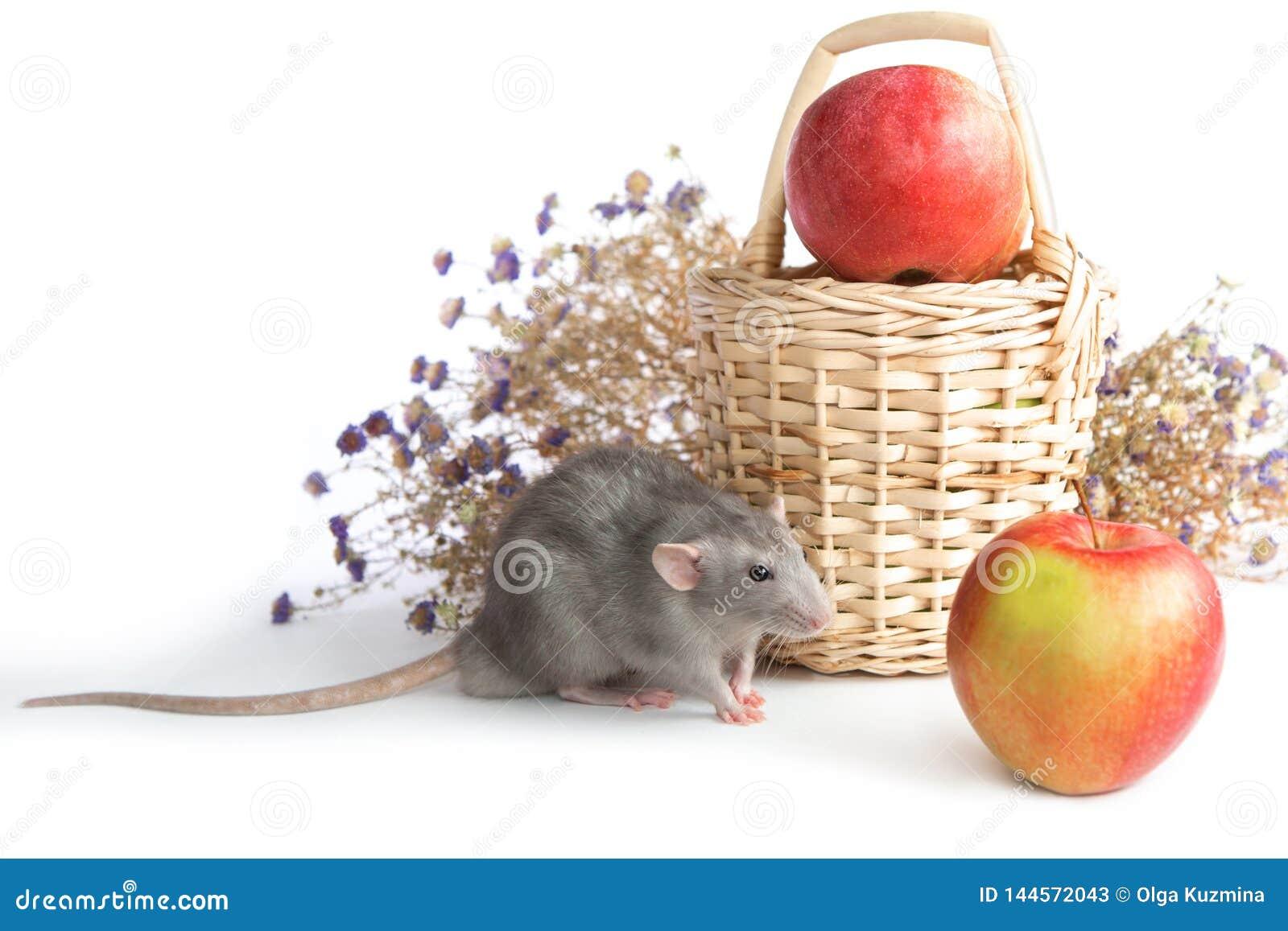 Rata decorativa del dumbo al lado de las flores del crisantemo en un fondo aislado blanco Rat?n gris, animal dom?stico