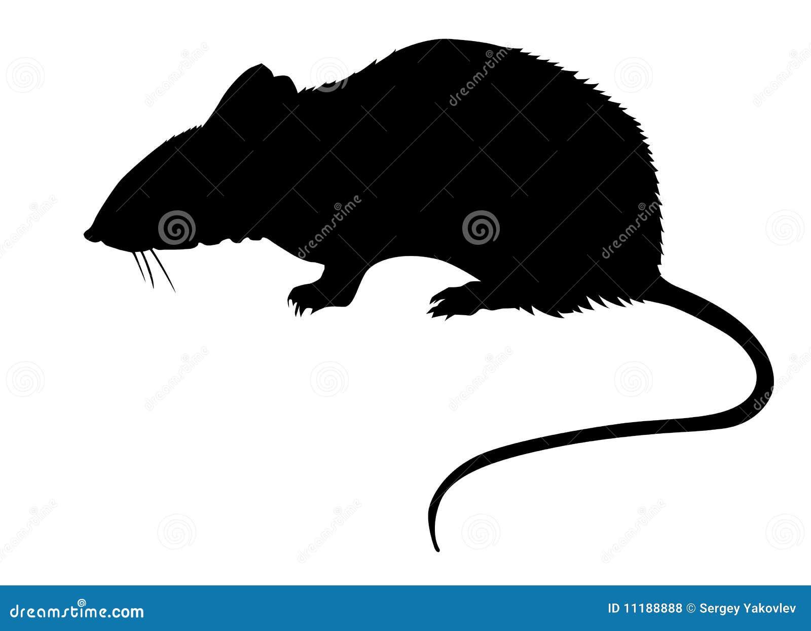 Rata en el fondo blanco