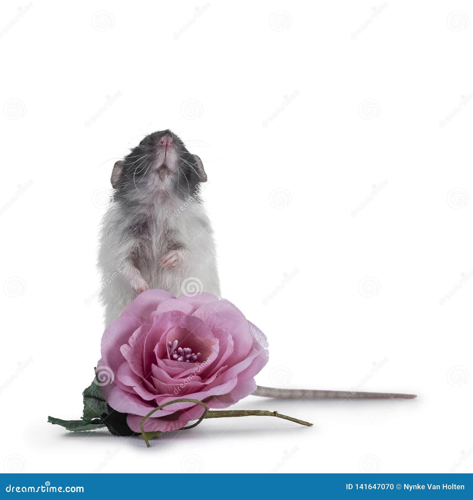 Rata linda del dumbo en el fondo blanco