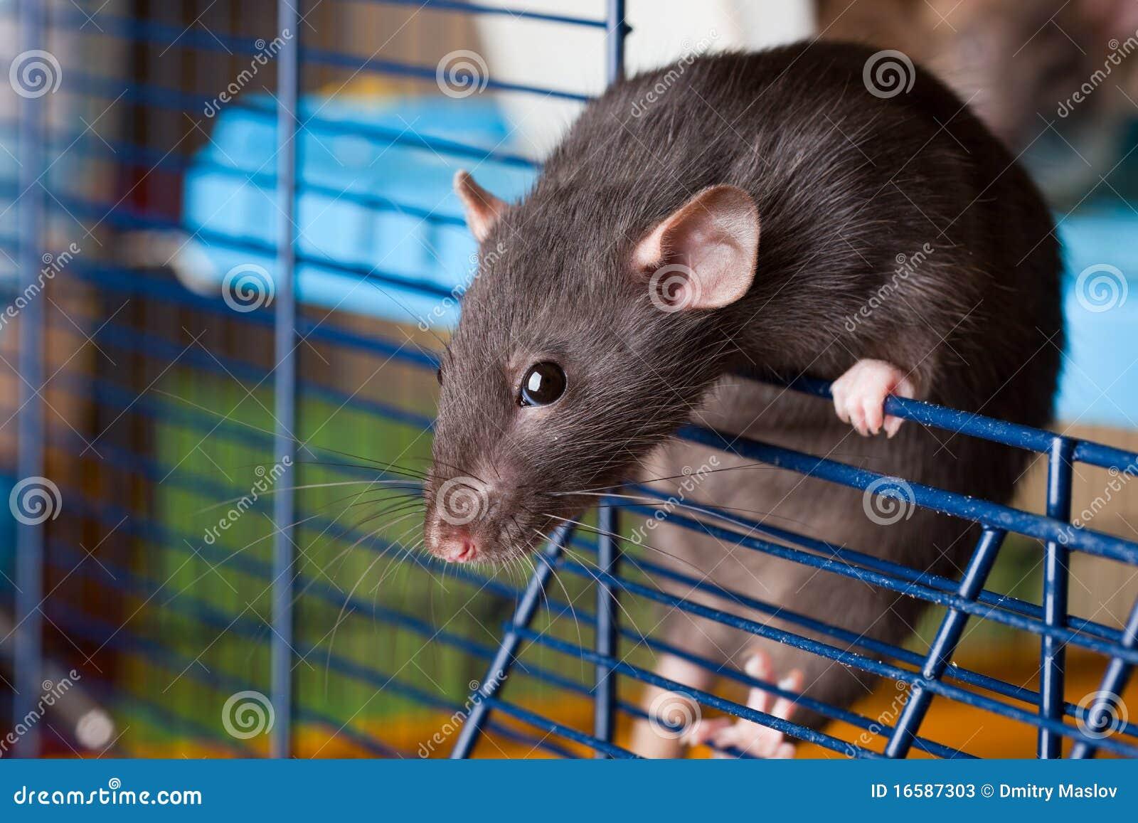 Rata negra de la casta Dumbo