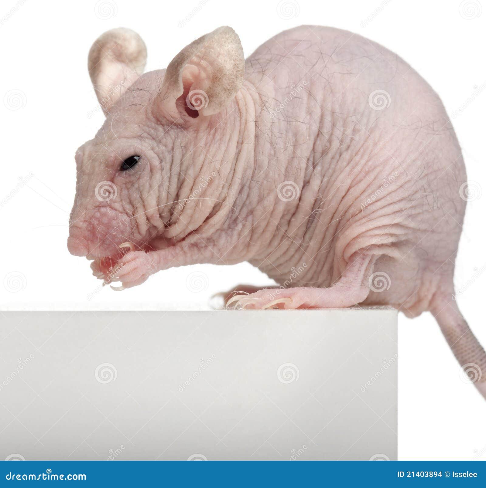 Rat n de casa sin pelo musculus de mus imagenes de archivo imagen 21403894 - Raton en casa ...