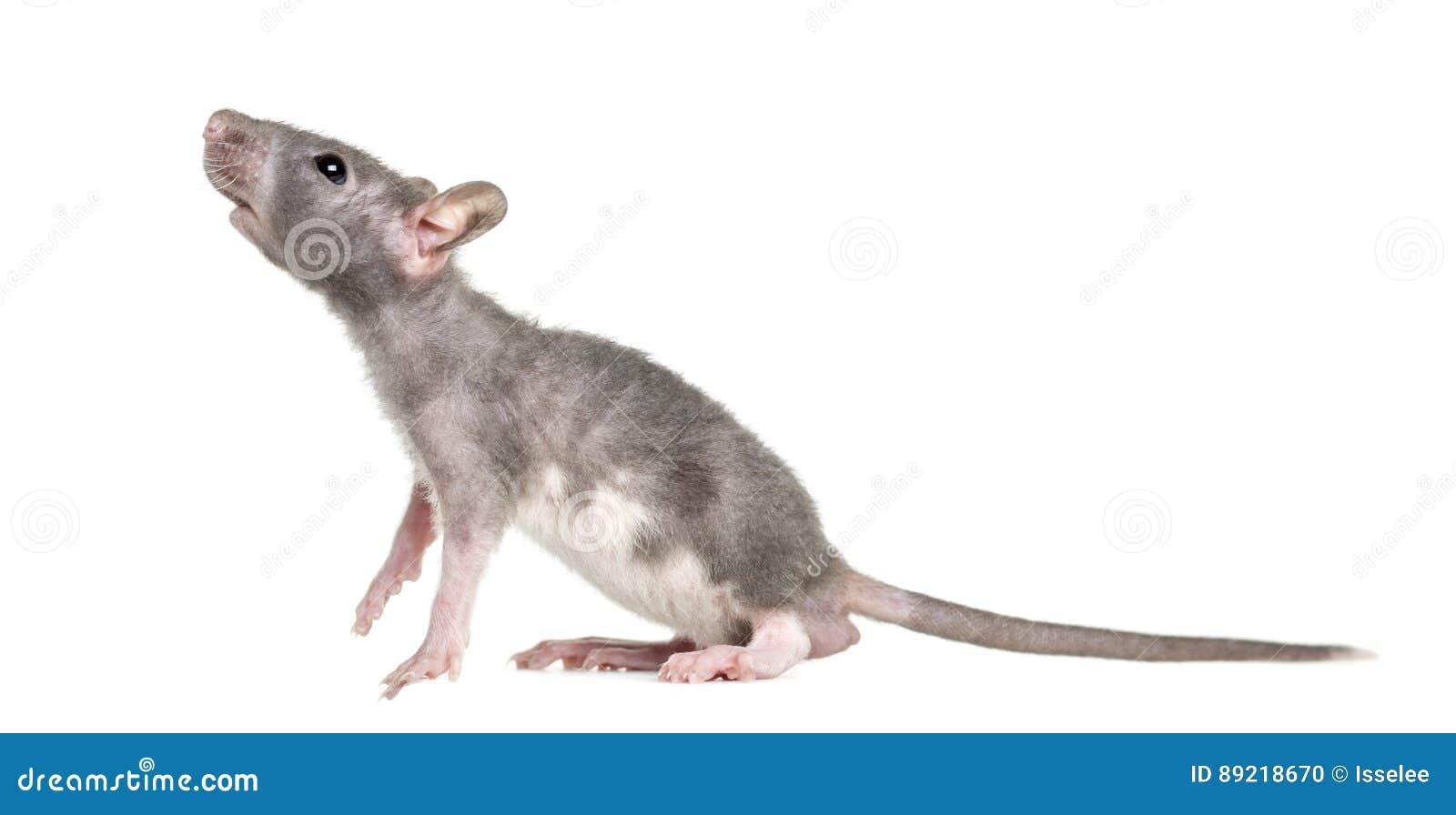 Rato calvo novo, isolado