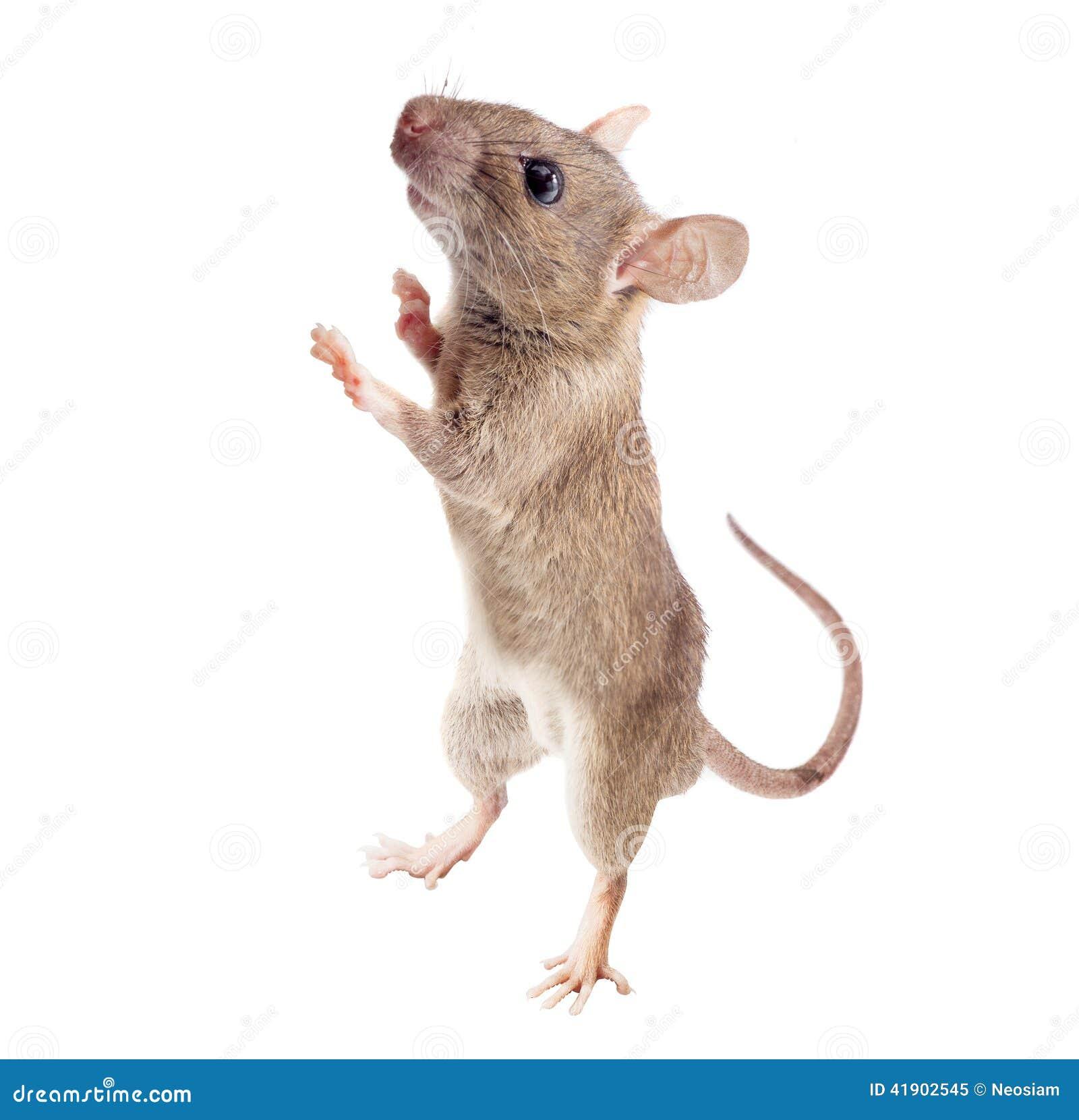 Rato da casa isolado