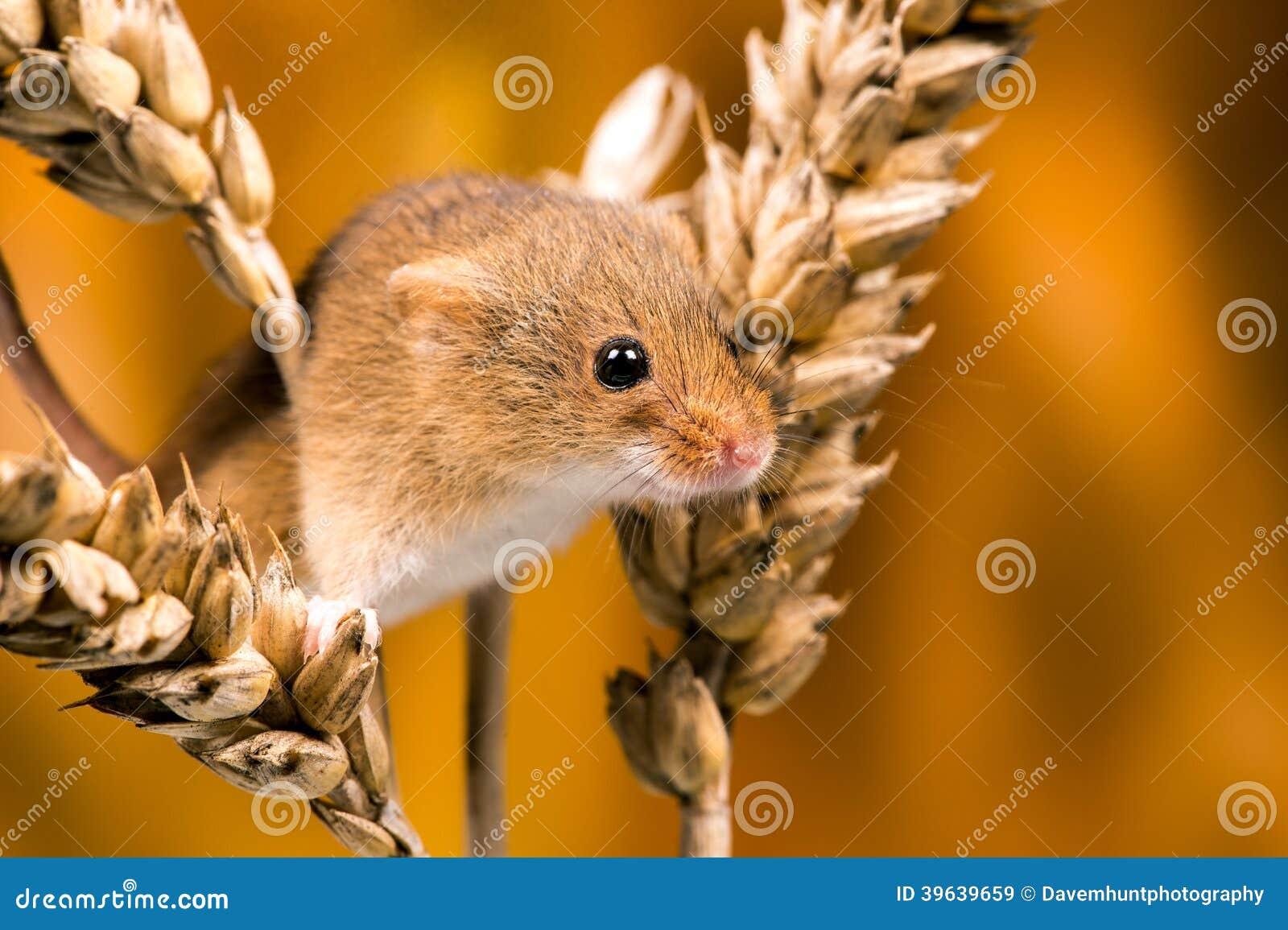 Rato de campo