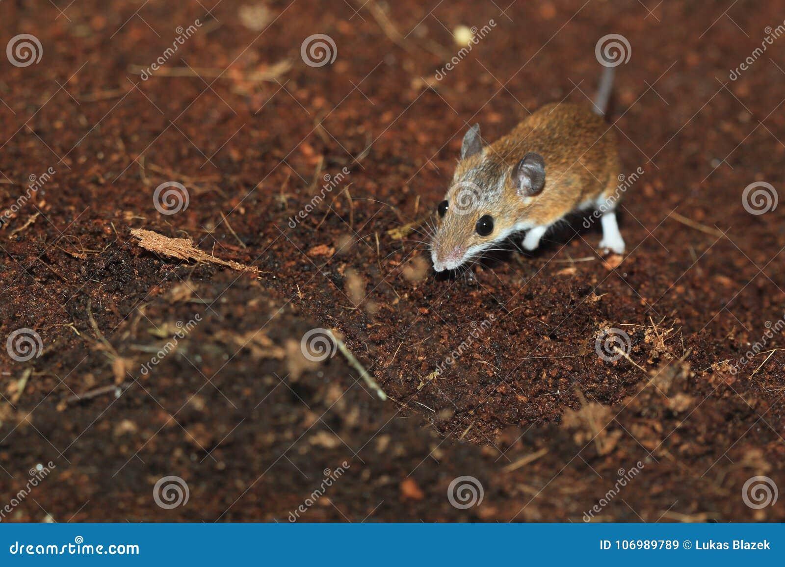 Rato de pigmeu africano