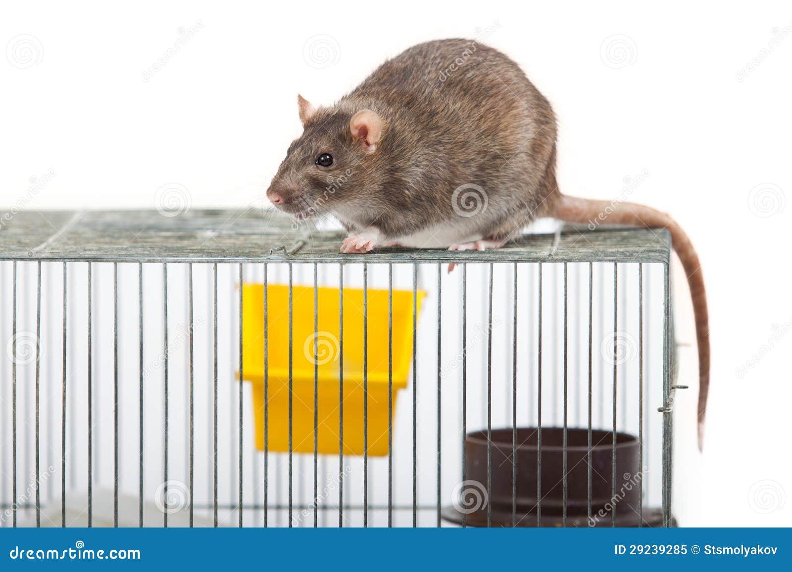 Download Rato em uma capoeira imagem de stock. Imagem de cute - 29239285