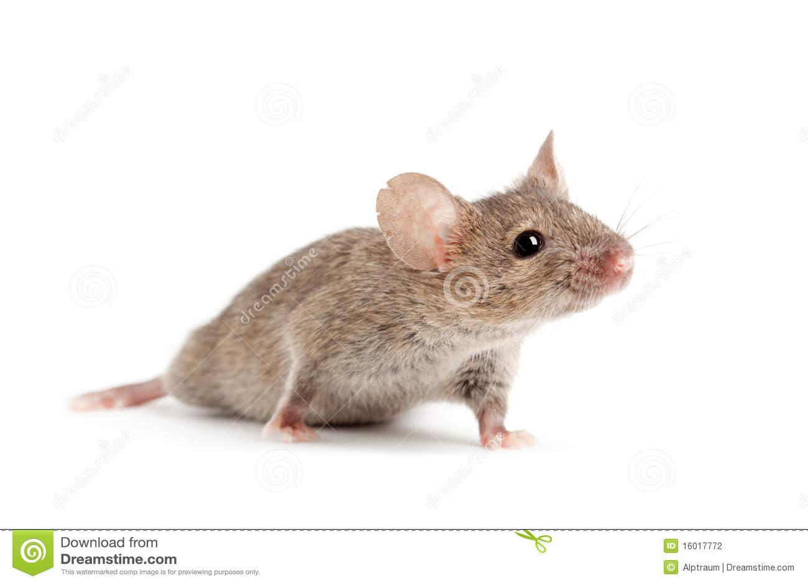 Rato isolado no branco