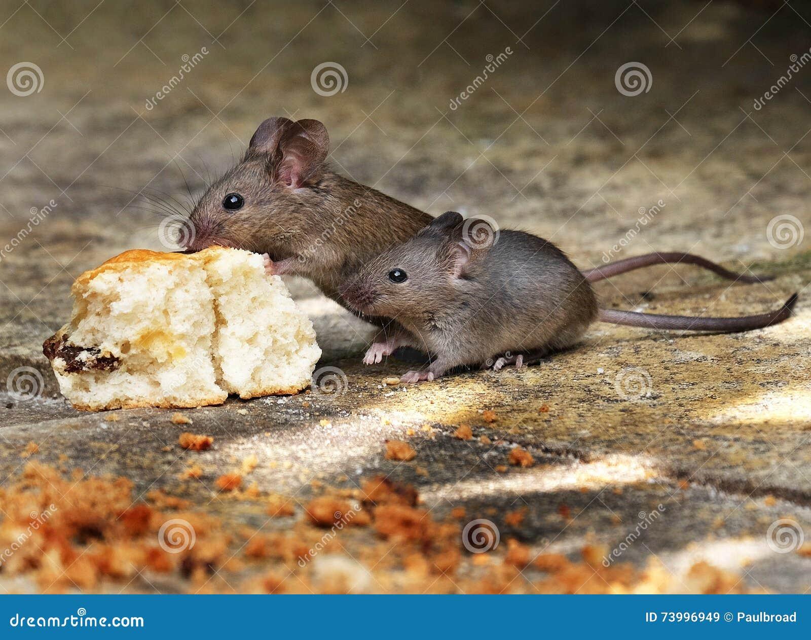 Eliminar ratones en casa elegant limpieza de la casa mi dulce hogar with eliminar ratones en - Como eliminar ratones en el hogar ...