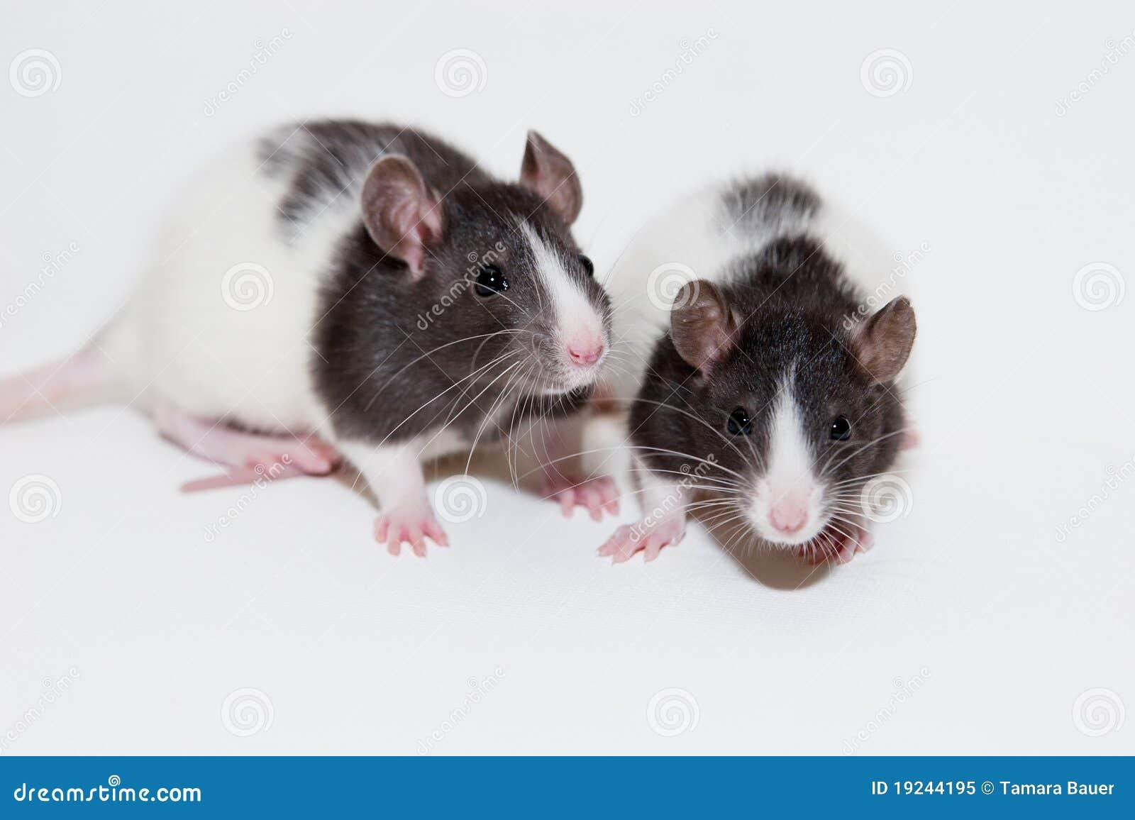 Ratos do bebê