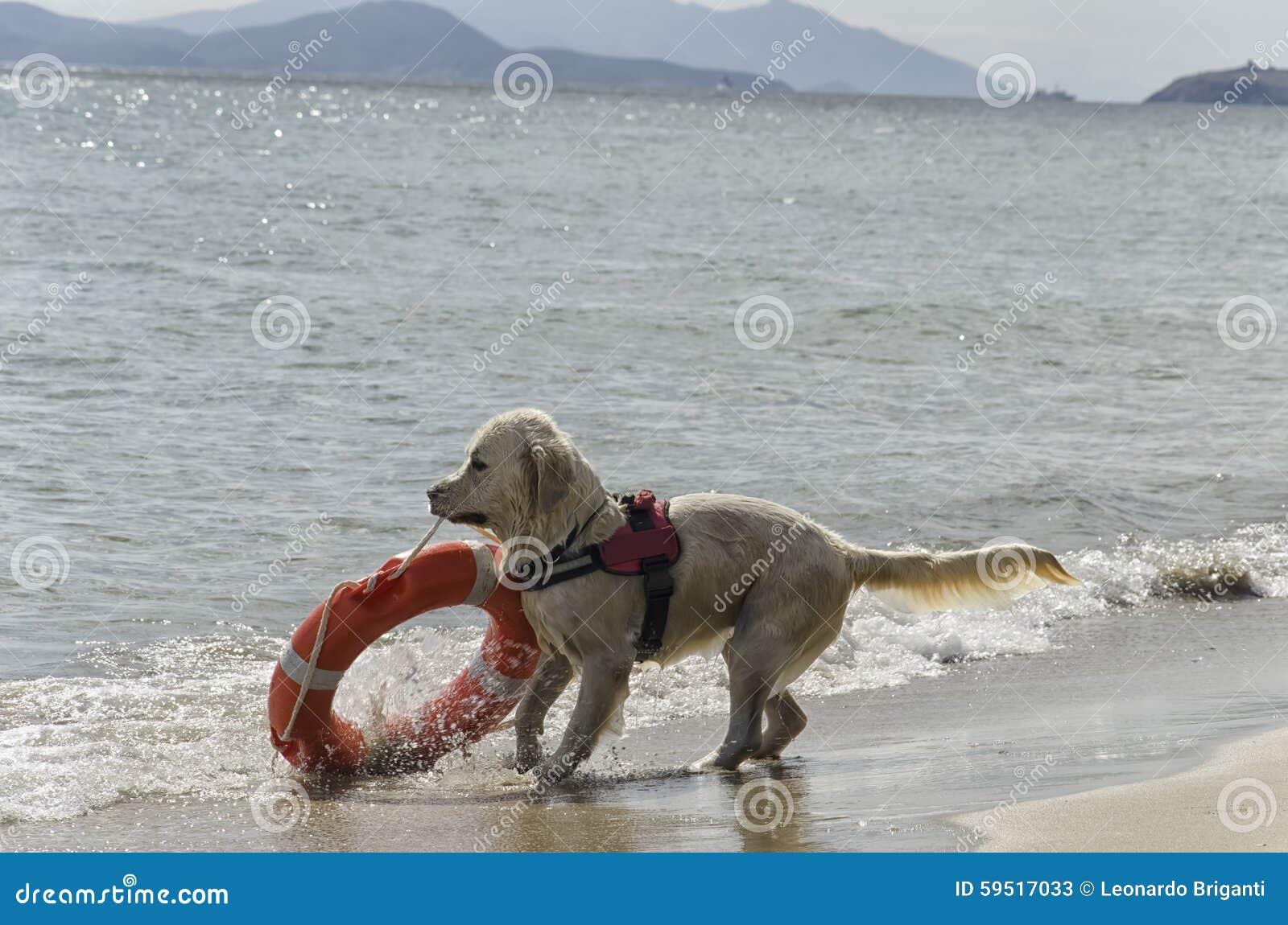 Ratowniczy pies z lifebelt