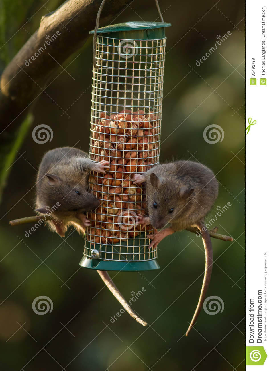 Rats On A Bird Feeder Royalty Free Stock Photos - Image: 35492798