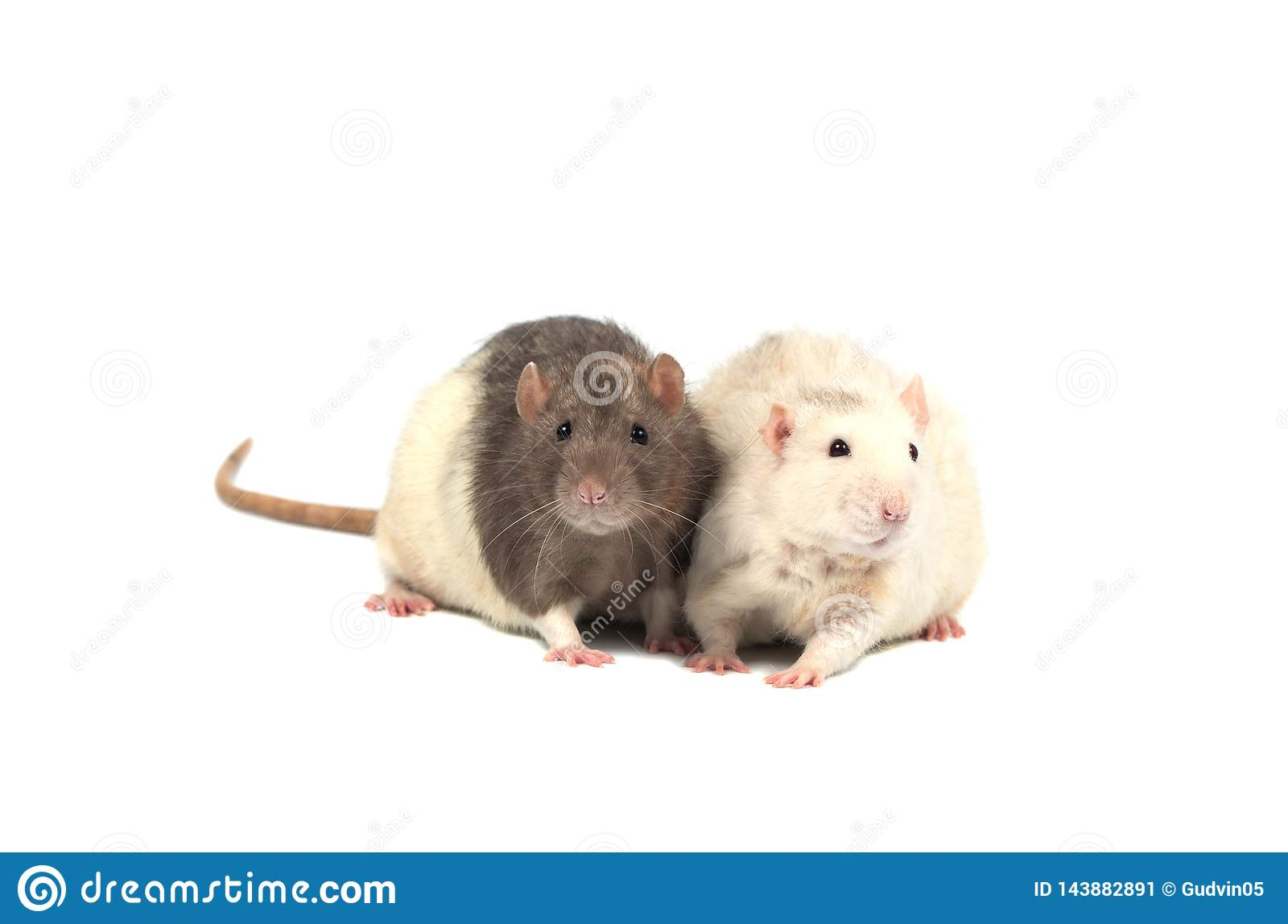 Rats isolated on white background. Two rats.