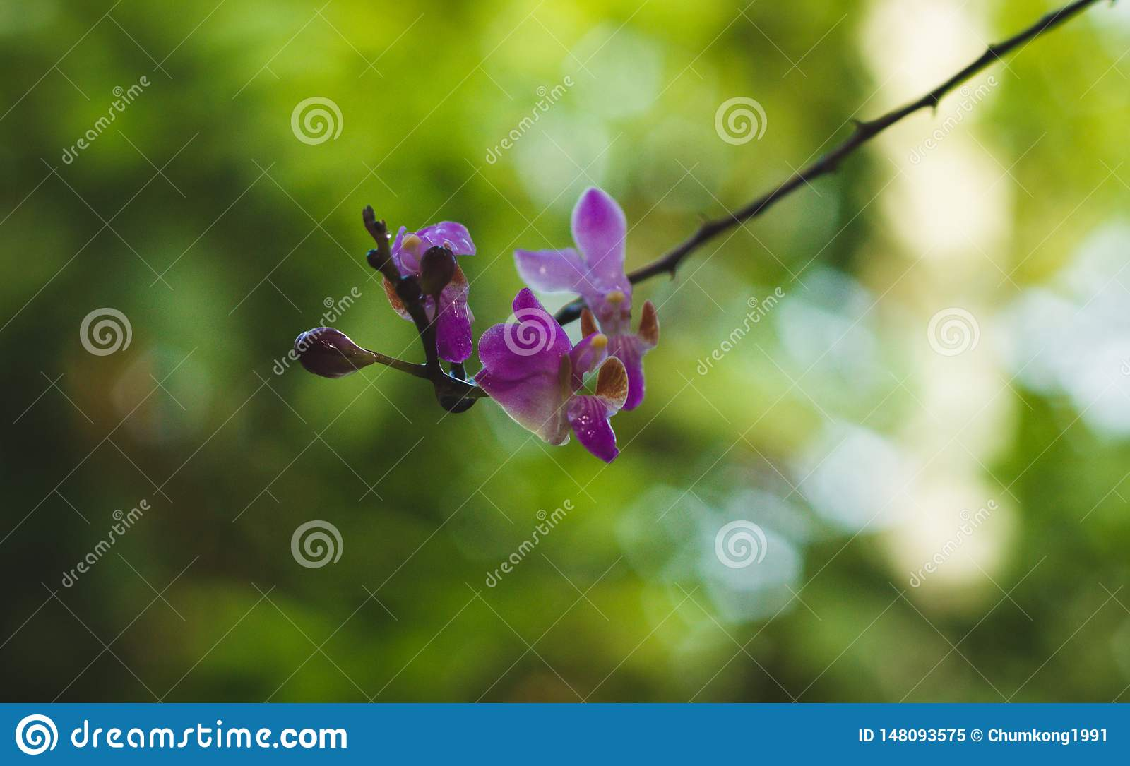 Rattan Orchid flowers.