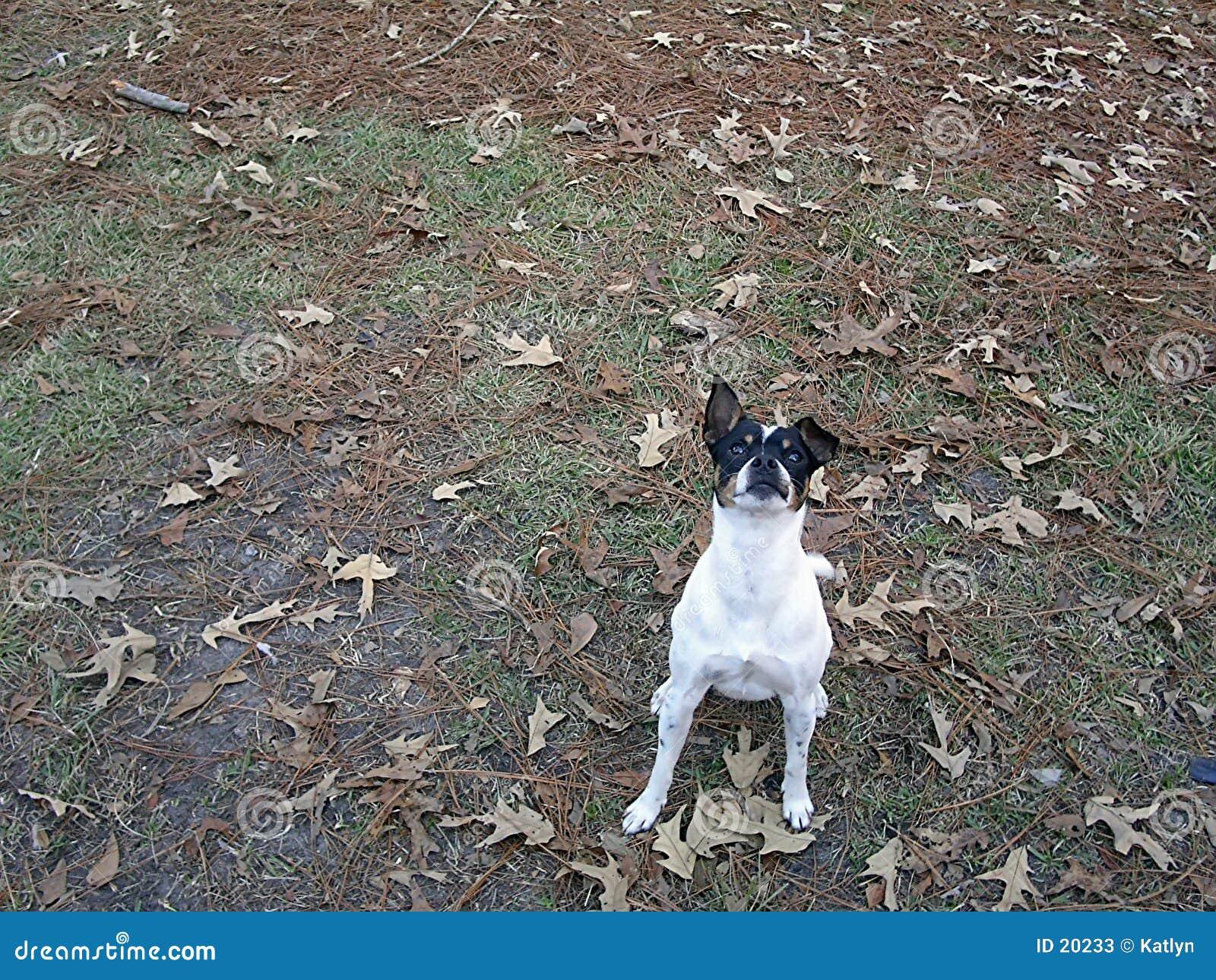 Ratte-Terrier