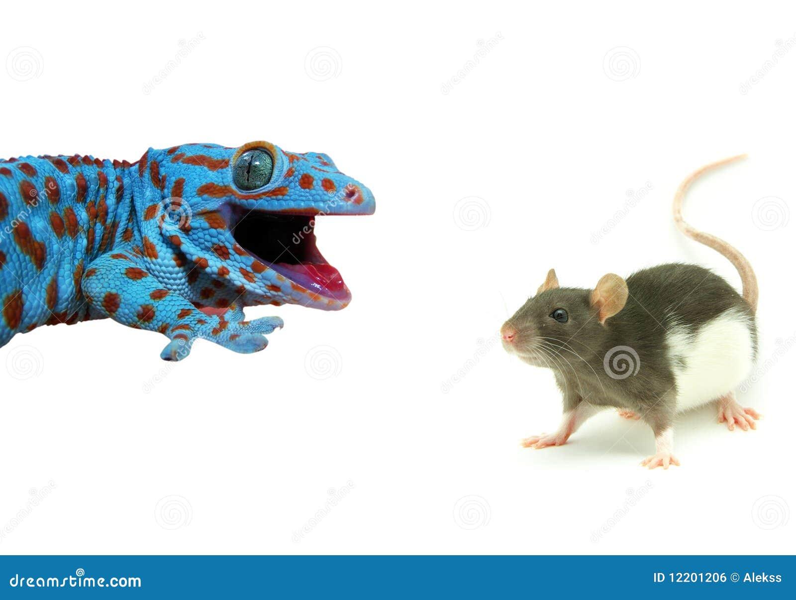 Ratte und Eidechse