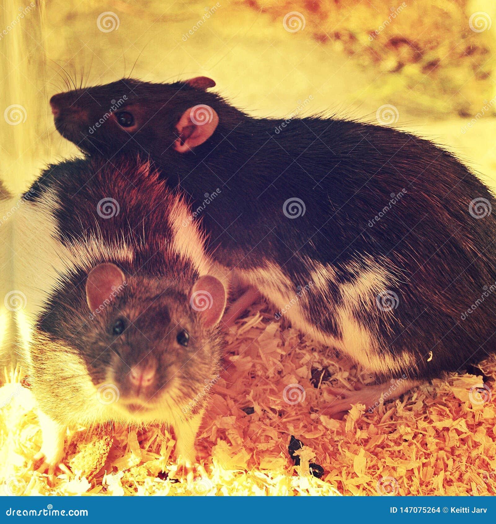 Rattenbroer en zuster