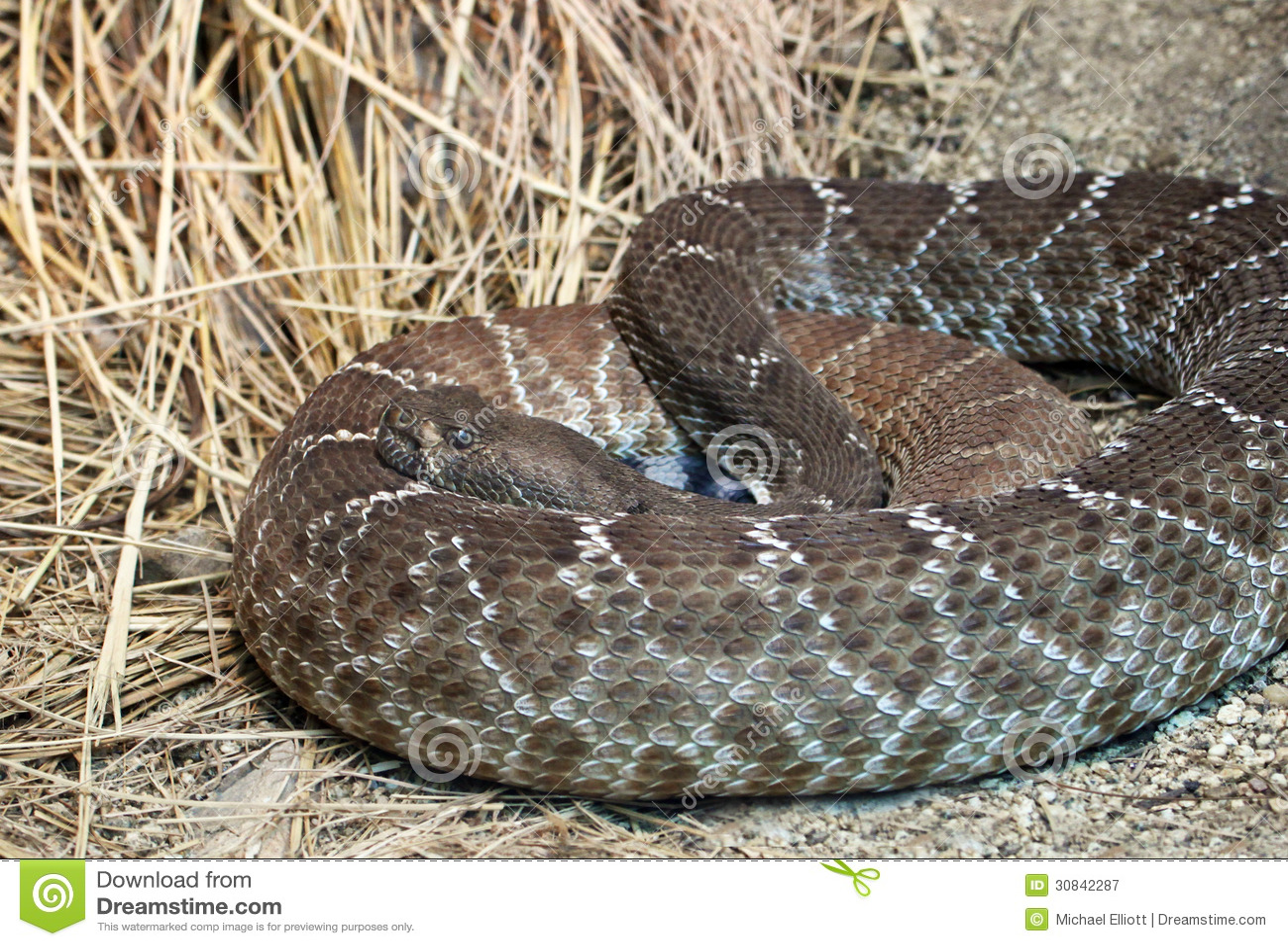 Rattle Snake Royalty F...