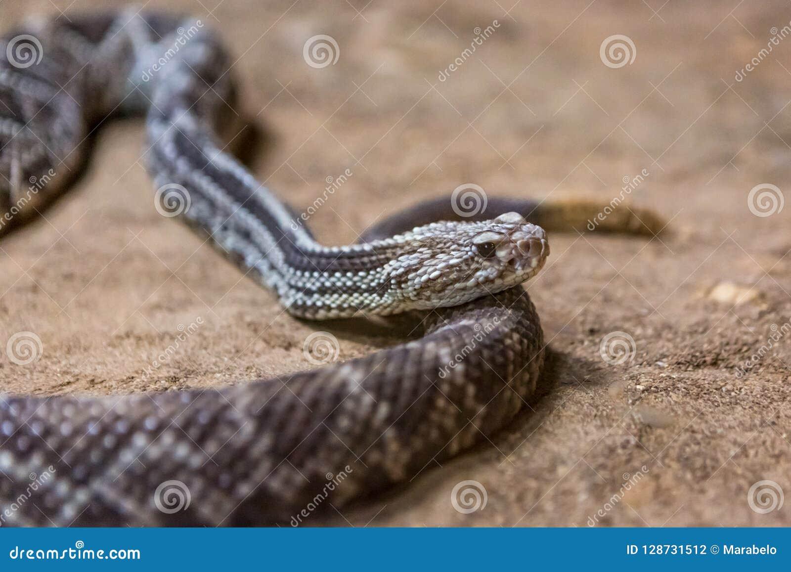 Rattlesnake, Crotalus Atrox  Western Diamondback  Stock