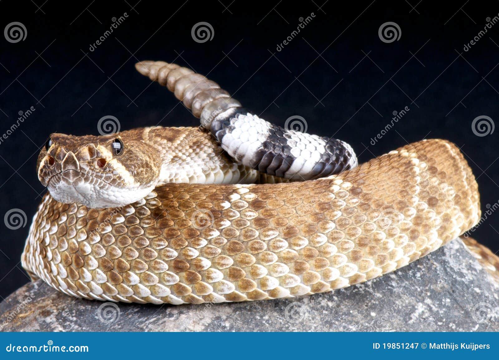 Rattlesnake rosso