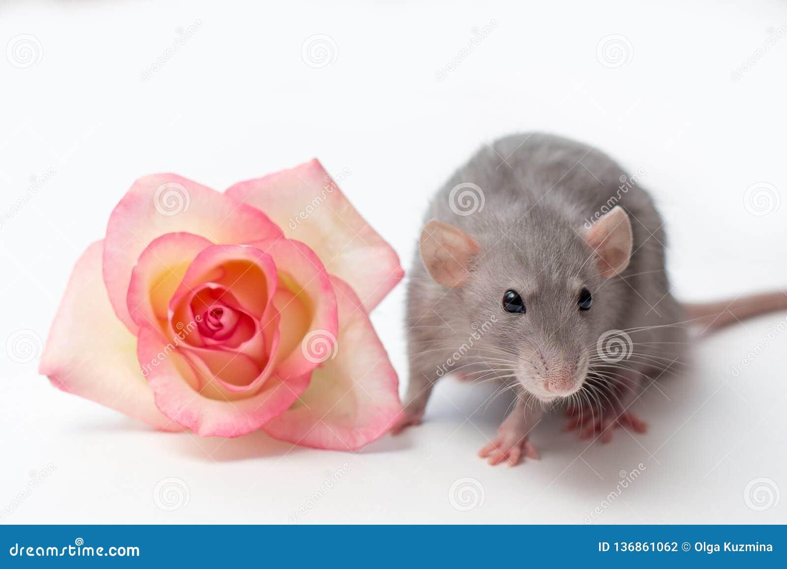 Ratto della mano, ratto di dumbo, animali domestici su un fondo bianco, un piccolo ratto molto sveglio, un ratto accanto ad una r