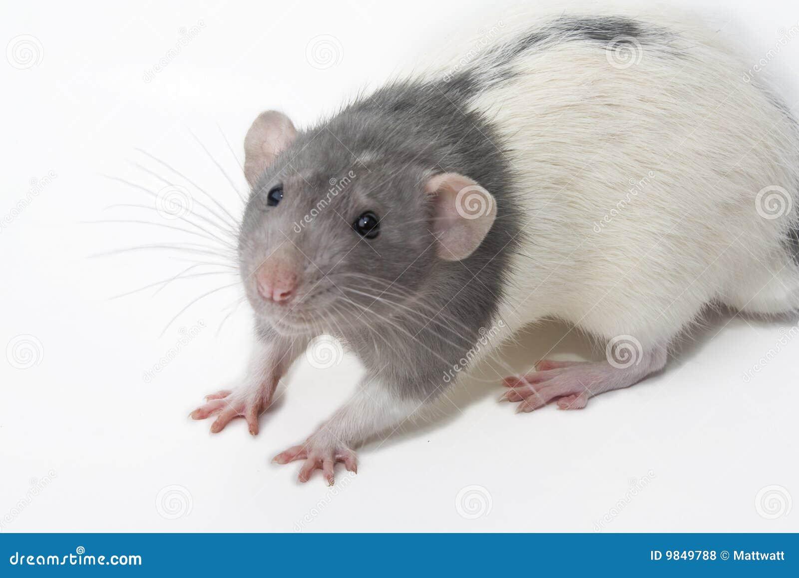Ratto operato di Norvegicus Dumbo del Rattus