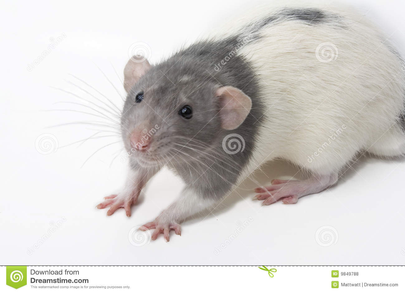 Rattus крысы norvegicus dumbo причудливый