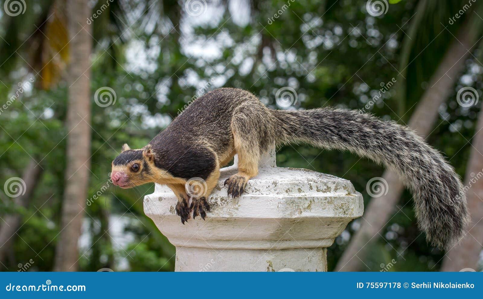 Ratufa  Giant Ceylon Squirrel  Stock Photo - Image of lanka