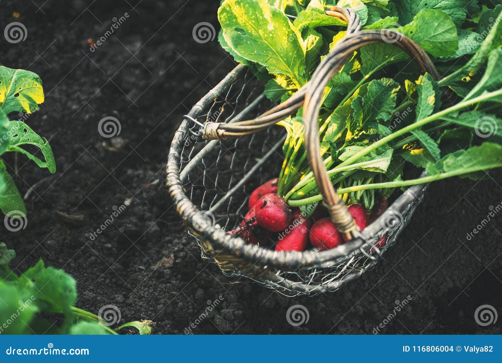Ravanelli rossi freschi con le foglie in un canestro