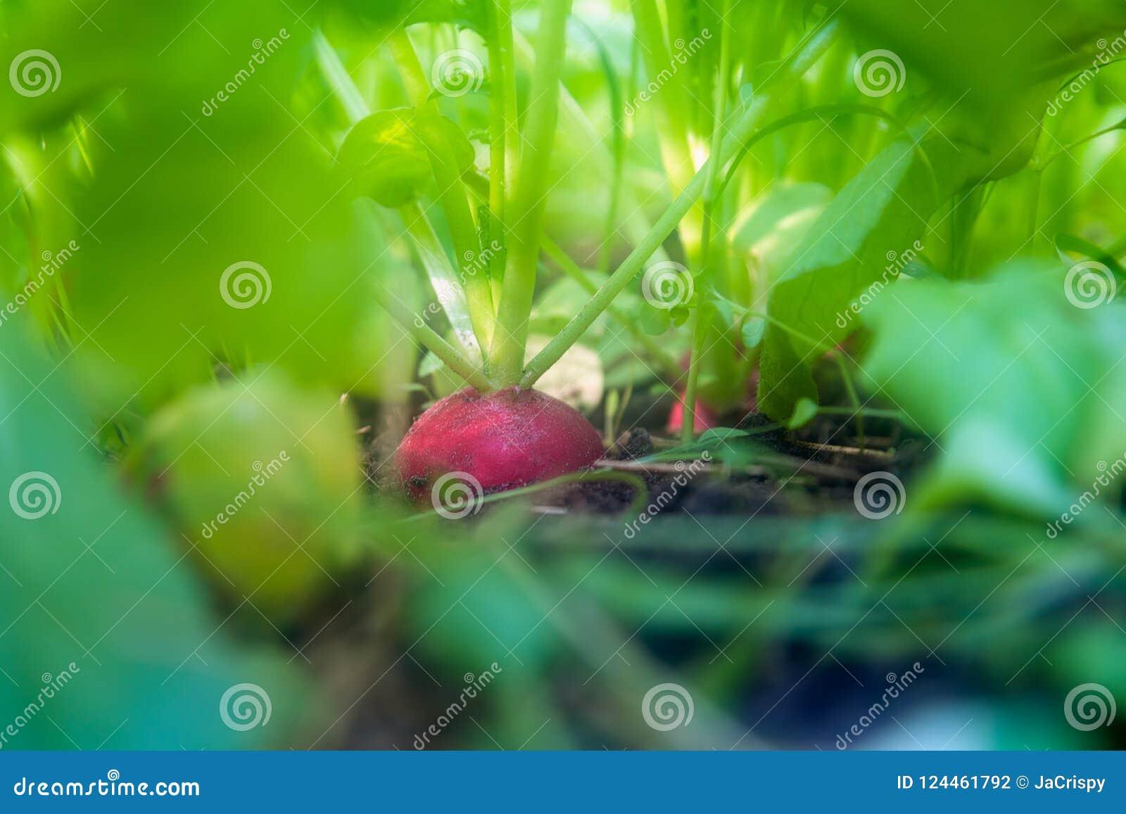 Ravanello nazionale organico nel suolo circondato dai verdi sviluppisi
