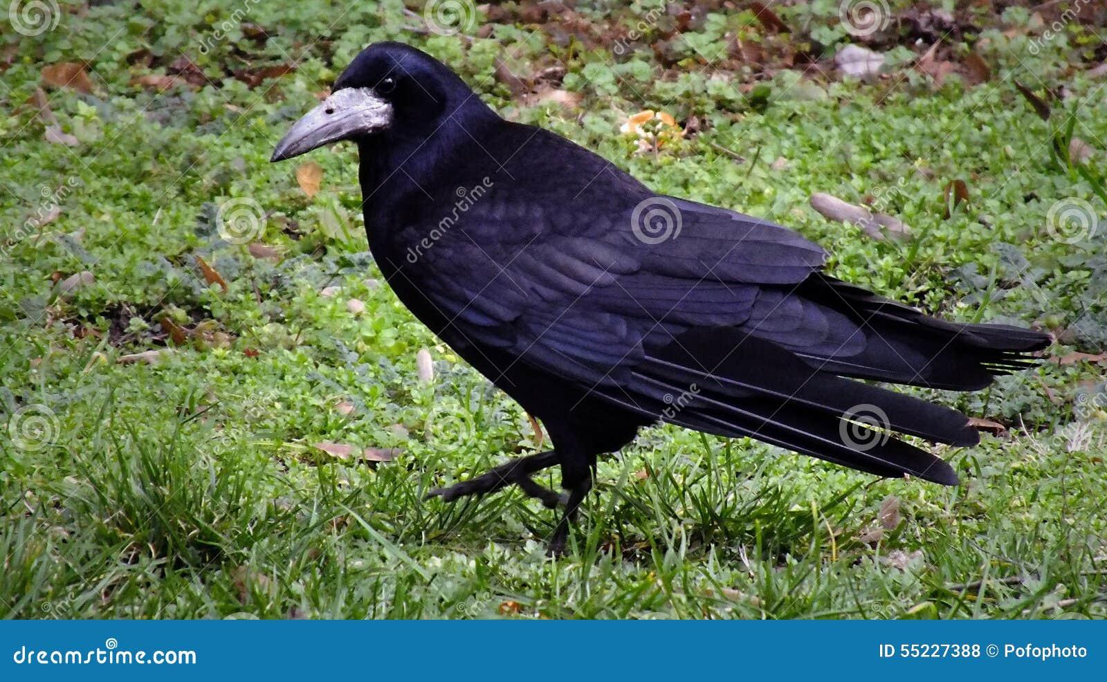 Raven che cammina nell erba