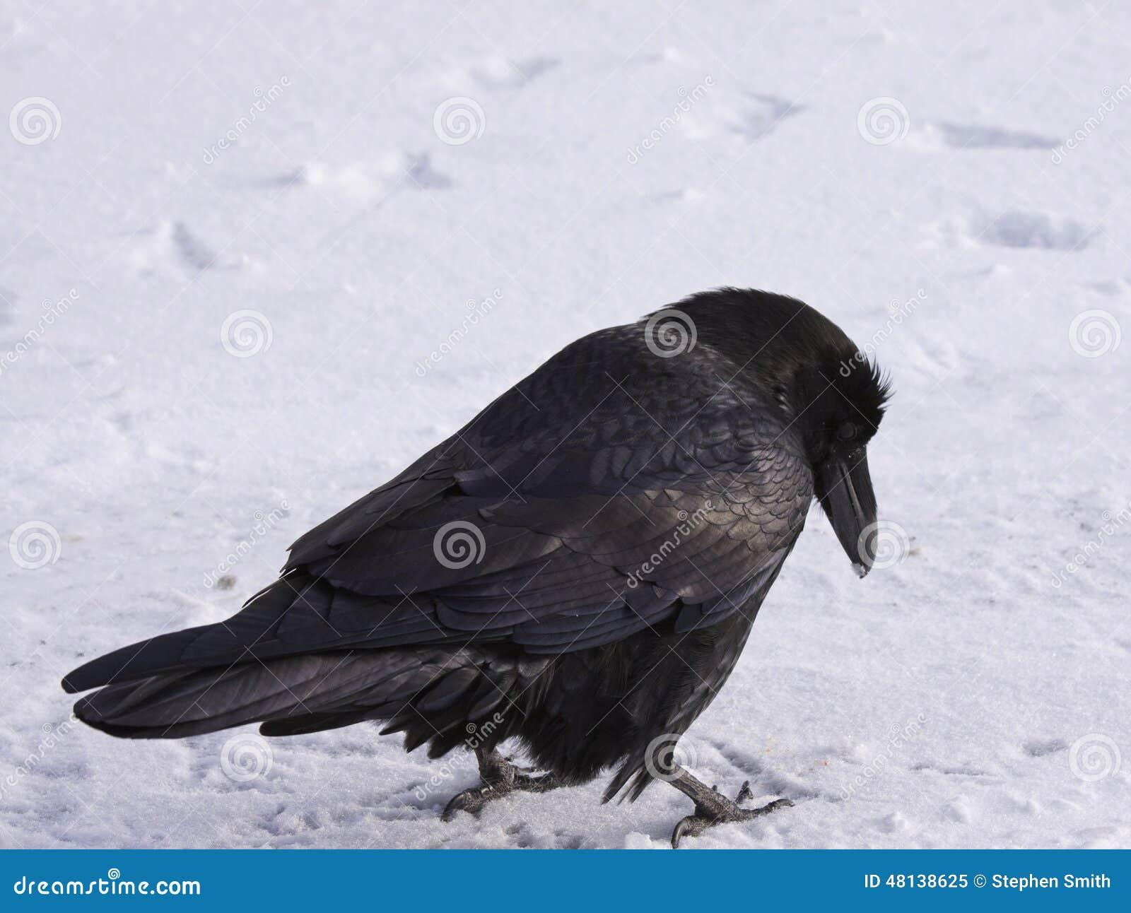 Raven commun marchant dans la neige, Alberta, Canada