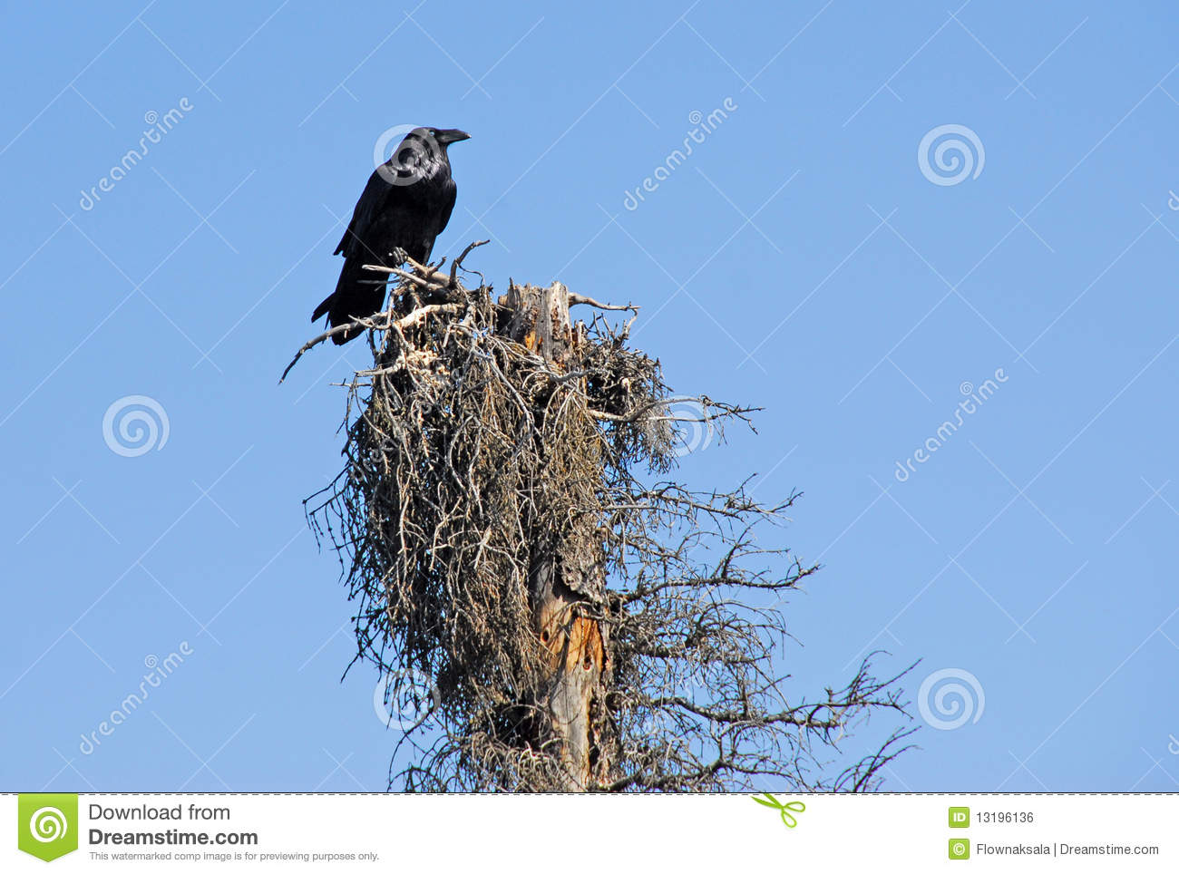 raven on the tree 2 royalty free stock photo Snow Tree Branch Clip Art pine tree branch clipart