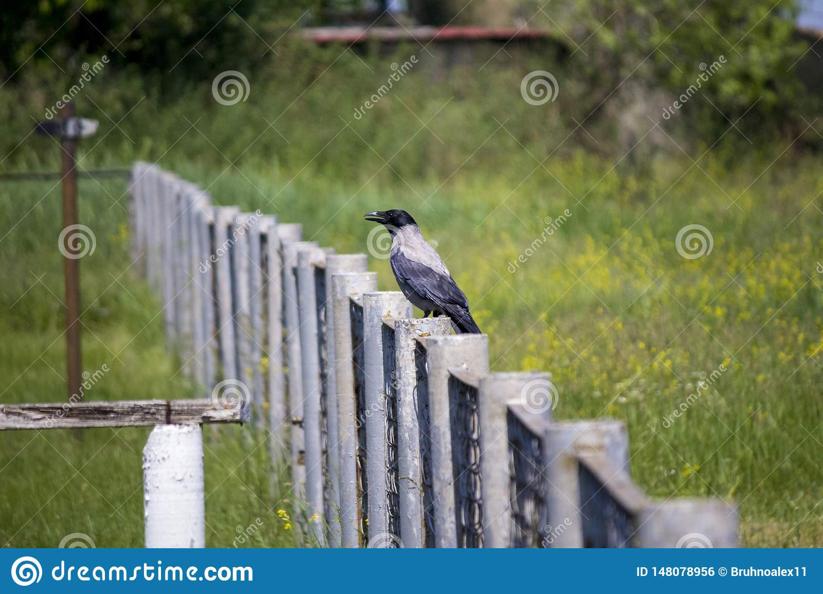 Raven on the fence. wary raven. Spring.
