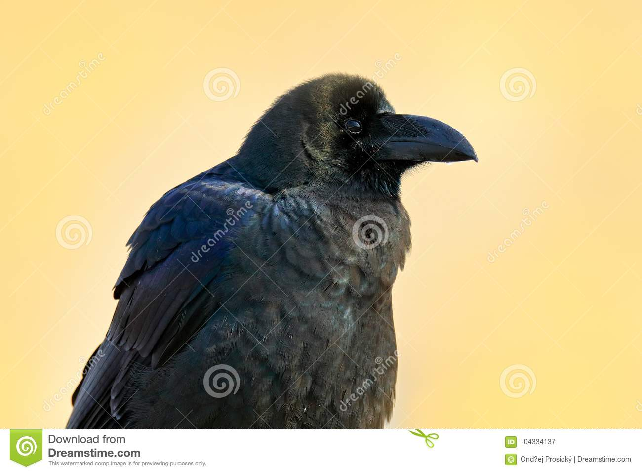 Raven in the green grass. Feeding scene from nature. Black bird from Germany. Bird with food. Meadow with raven. Wildlife scene wi