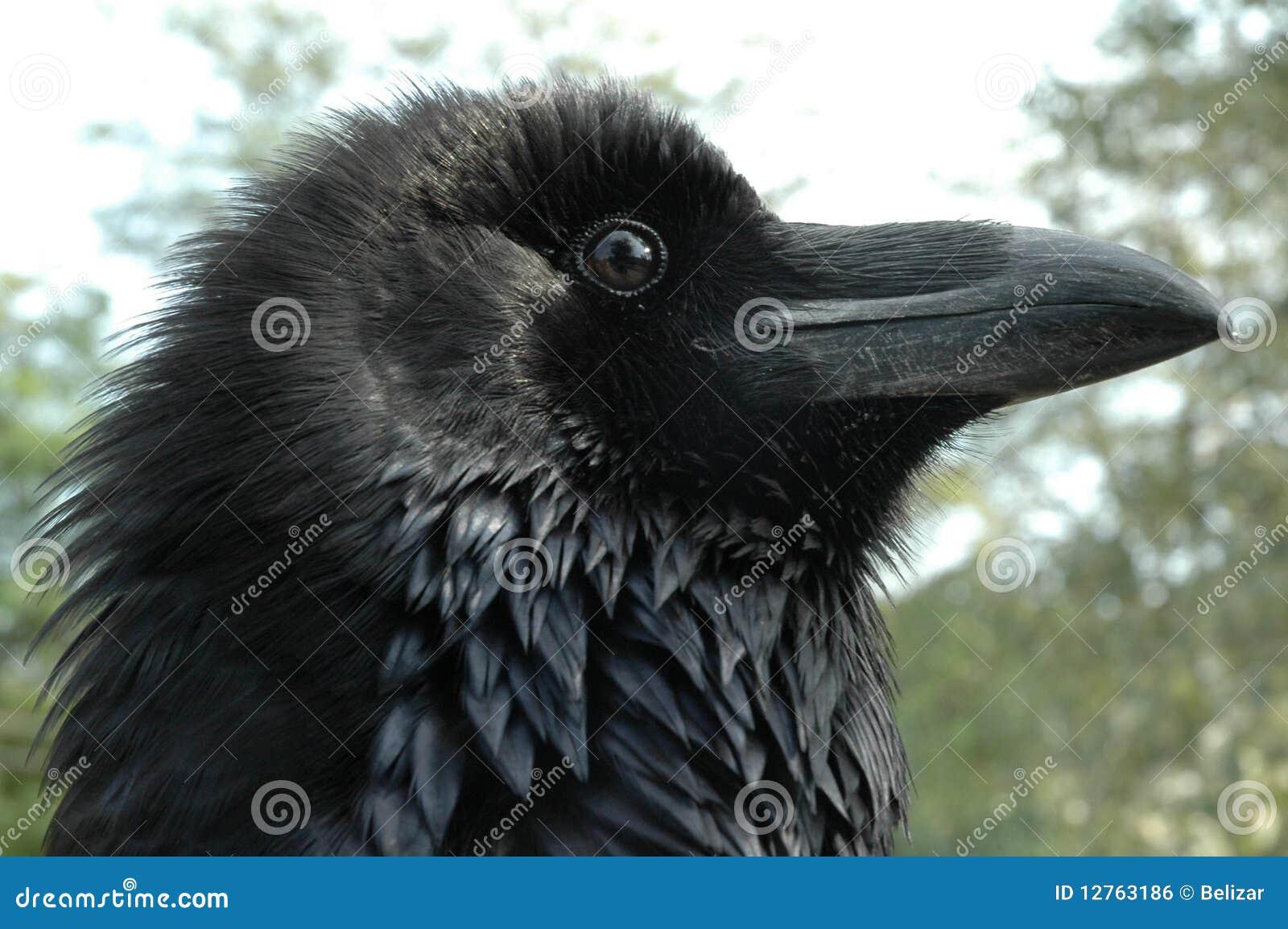 Raven head (Corvus corax)