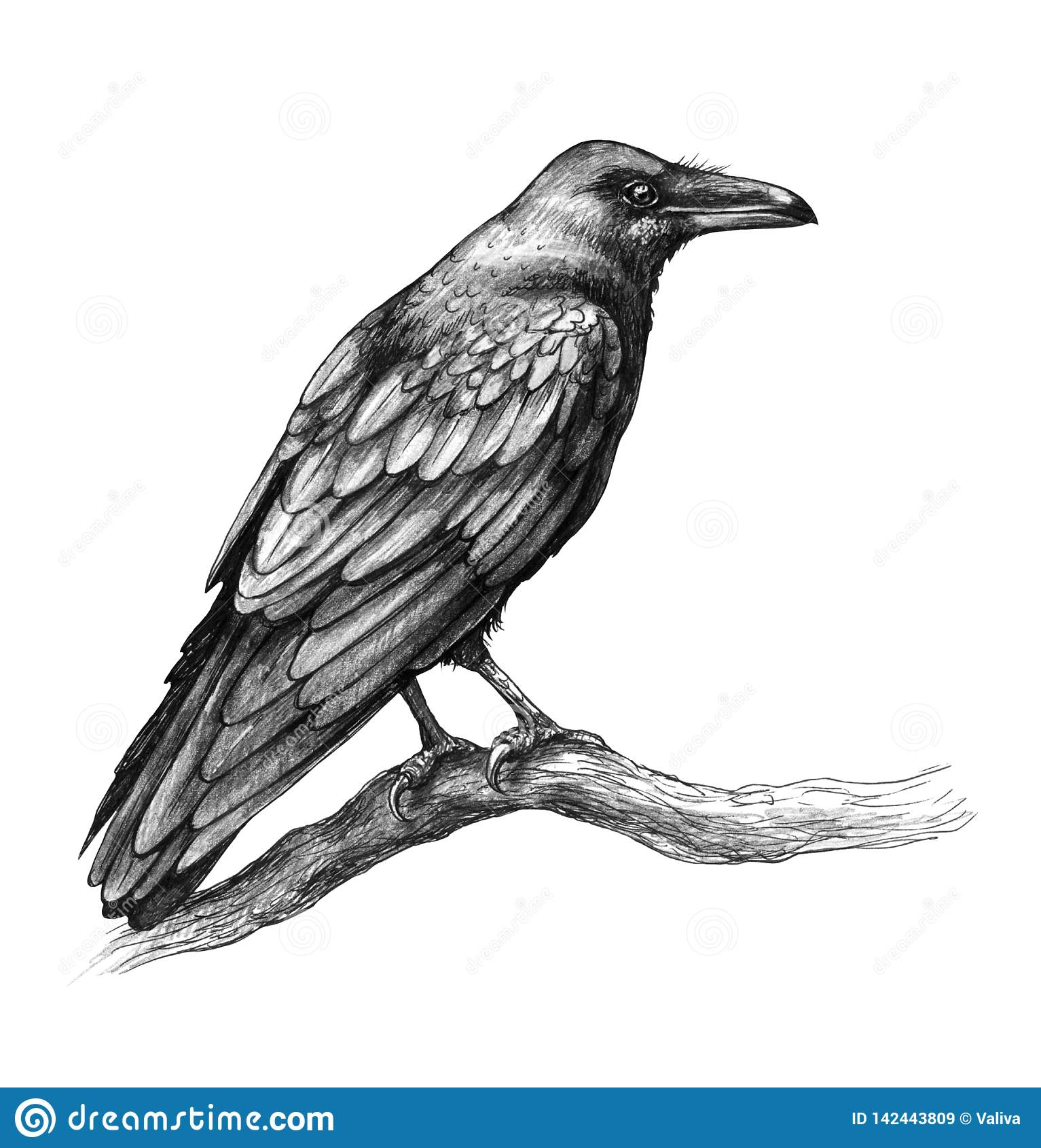 Raven side view pencil drawing stock illustration illustration of